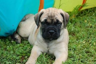 Puppyfinder.com: Bullmastiff puppies puppies for sale near Missouri USA