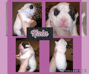Olde English Bulldogge Puppy for sale in MOUNTAIN HOME, ID, USA