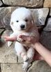 Puppy 6 Maremma Sheepdog