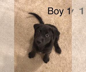 Labrador Retriever Puppy for sale in COLUMBIA, SC, USA