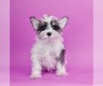Puppy 12 Schnauzer (Miniature)