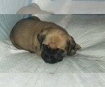 Small #28 Mastiff