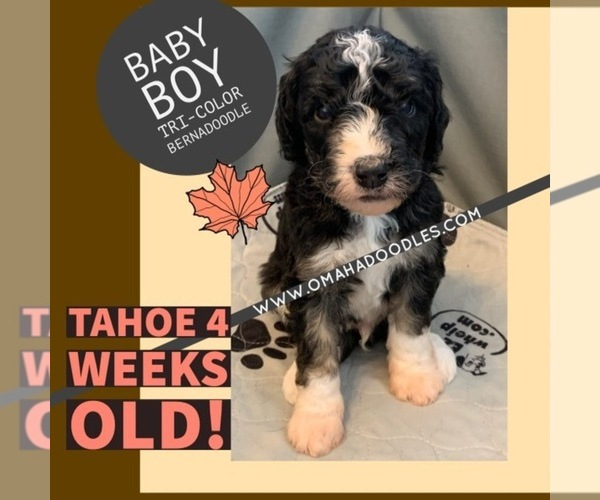 Medium Photo #5 Bernedoodle Puppy For Sale in OMAHA, NE, USA