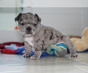 French Bulldog Puppy for Sale in SAHUARITA, Arizona USA