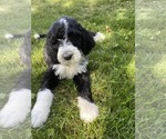 Small #1 Bernedoodle-Poodle (Standard) Mix