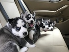 Amazing Siberian Husky Puppies for sale