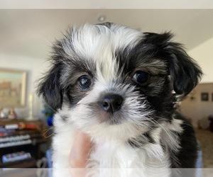 Shiranian Puppy for Sale in FAIR OAKS, California USA