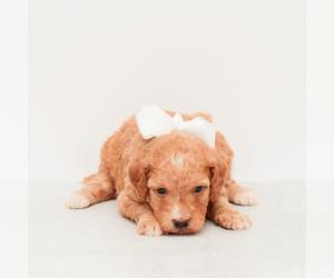 Medium Goldendoodle (Miniature)