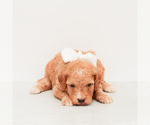 Puppy 5 Goldendoodle (Miniature)