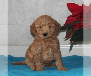 Goldendoodle-Poodle (Miniature) Mix Puppy for sale in STRASBURG, PA, USA