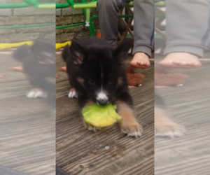 German Shepherd Dog-Siberian Husky Mix Puppy for sale in HERNDON, PA, USA