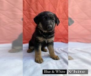 German Shepherd Dog Puppy for Sale in COTTONDALE, Florida USA