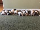 AKC and ASCA Register Australian Shepherd Puppies