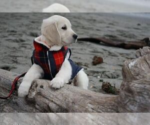 Golden Retriever Puppy for sale in FORT STEILACOOM, WA, USA