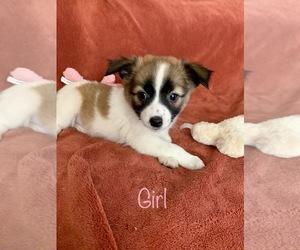 Chihuahua-Shiba Inu Mix Dog for Adoption in RICHMOND, Michigan USA