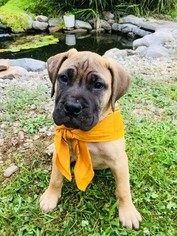Bullmastiff Puppy For Sale in LIMERICK, PA, USA