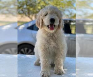 Goldendoodle Puppy for Sale in PORTERVILLE, California USA