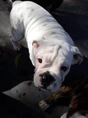 English Bulldog Puppy for Sale in WHITE OAK, Texas USA