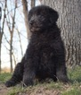 Aussiedoodle Puppy For Sale in WARSAW, Indiana,