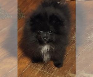 Pomeranian Puppy for Sale in MACON, Georgia USA