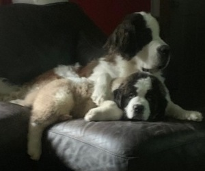 Saint Bernard Puppy for sale in DERRY, NH, USA