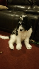 Saint Berdoodle Puppy For Sale in FORT WAYNE, IN
