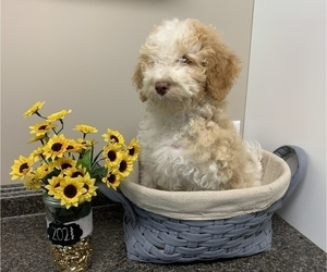 Labradoodle Puppy for Sale in MISHAWAKA, Indiana USA