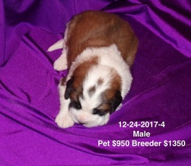 Saint Bernard Puppy For Sale in IMPERIAL, MO, USA