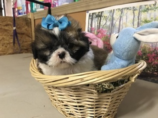 Shih Tzu Puppy For Sale in CYPRESS, TX