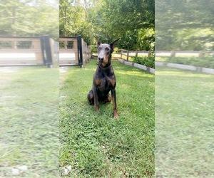 Doberman Pinscher Puppy for sale in WHITES CREEK, TN, USA