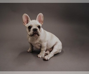 French Bulldog Puppy for sale in CLEARWATER, FL, USA