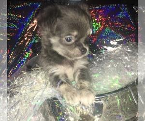 Chihuahua Puppy for sale in RAWSONVILLE, MI, USA