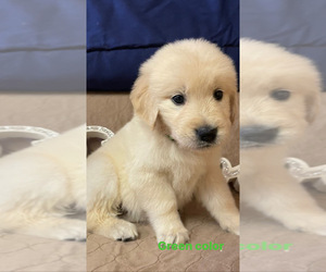 Golden Retriever Puppy for sale in EAGLE ROCK, NC, USA