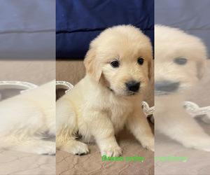 Golden Retriever Puppy for Sale in EAGLE ROCK, North Carolina USA