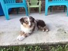 Miniature Australian Shepherd Puppy For Sale in SPRING, TX,