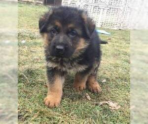 German Shepherd Dog Puppy for sale in SPANAWAY, WA, USA