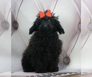 Poodle (Miniature) Puppy for Sale in WARSAW, Indiana USA
