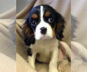 Cavalier King Charles Spaniel Puppy for sale in KOKOMO, IN, USA