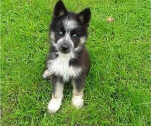 German Shepherd Dog-Siberian Husky Mix Puppy for Sale in NEOSHO, Missouri USA