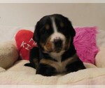Image preview for Ad Listing. Nickname: AKC Annabelle
