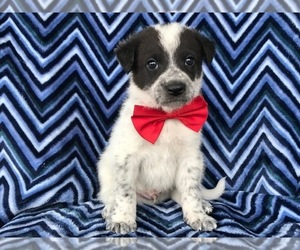 Border Collie-Great Pyrenees Mix Puppy for sale in NEW PROVIDENCE, PA, USA