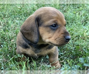 Dachshund Puppy for Sale in SPRINGFIELD, Missouri USA
