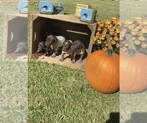 German Shorthaired Pointer Puppy for sale in SALUDA, SC, USA