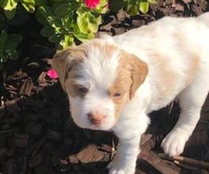 Brittany Puppy for sale in HIGHLAND, CA, USA
