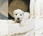 Small #34 Great Pyrenees