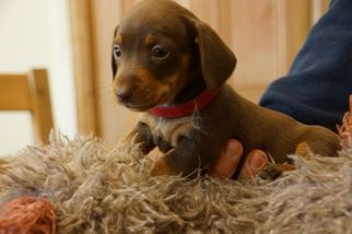 Dachshund Dog For Adoption in TURNER, MT, USA