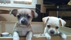 Chihuahua Puppy For Sale in CAMAS, WA,