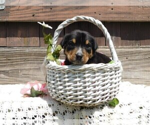 Greater Swiss Mountain Dog Puppy for sale in CLINTON, AR, USA