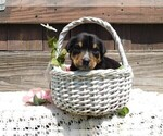 Image preview for Ad Listing. Nickname: AKC Lucky