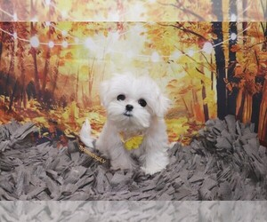 Maltese Dog for Adoption in LAS VEGAS, Nevada USA
